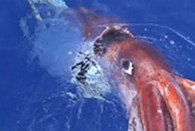 Calamaro Gigante nelle Acque del Pacifico: un documentario mostra le immagini